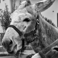 donkey_bw